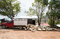 "Piñas de agave (agave ""pinapples"") at Felix Garcia´s  ranch and distillery in El Potrero, Oaxaca, Oaxaca, Mexico"