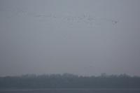 Wild goose migration 2014