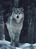 Eastern timber wolf, canis lupus, in the Upper Peninsula of Michigan