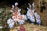 Harlequin shrimps normally live in pairs.  they feed on starfish, often eating their prey from the tip of the tentacles inwards, to keep the starfish alive for as long as possible.