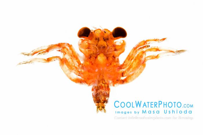 crab larvae, unidentified, Hawaii, Pacific Ocean (c)