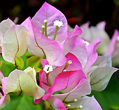 "A well-hidden black ant enjoys the nectar of this pink and white bougainvillea (Bougainvillea spp. or ""Imperial Delight,"" also known as ""Imperial Thai Delight""), Hawai'i."