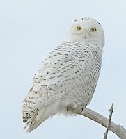 Snowy Owl (Nyctea scandiaca) perching on a tree branch against a blue sky