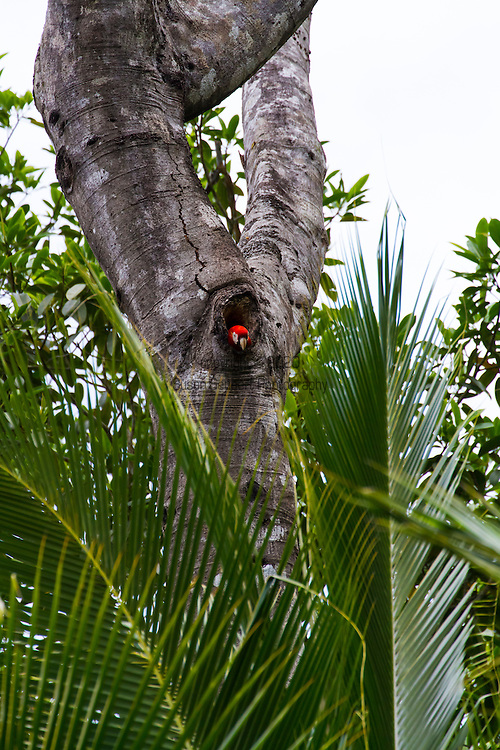 Golfo Dulce, Costa Rica. A Scarlet Macaw poking its head out of its nest hole in a tree