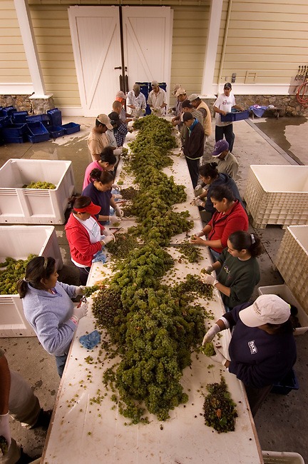 Workers sort sauvignon blanc grapes at Spottswoode winery, st. helena