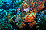 (2004)- Blackbar Soldierfish- Soufriere Scott's Head Marine Reserve,  Commonwealth of Dominica.