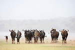 Common (blue) wildebeest (gnu), (Connochaetes taurinus) herd in rainstorm in the Kalahari, Kgalagadi Transfrontier Park, Northern Cape, South Africa, January 2016