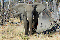 A female elephant (loxodonta africana) making a mock charge.<br />