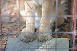 Cougars Paws, Big Cat Rescue