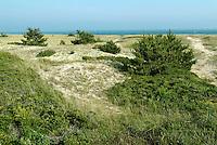 Coastal Plants & Trees Anchoring the Dunes, Nantucket Island, MA