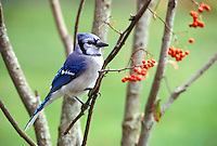 Blue jay perched in birch trees with red berries