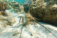 Pacifiic spiny lobster, Laughing Brid Caye National Park, is a small isle 11 miles off the coast of Belize