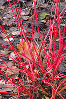Cornus sericea Coral Red in red winter stems
