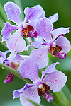 Garden of the Sleeping Giant, Nadi, Fiji; Fiji's largest orchid collection, founded by Raymond Burr in 1977