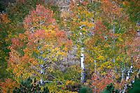 Aspen Trees in Rocky Mountain National Park