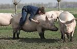 Foto: VidiPhoto<br /> <br /> HEDEL - Studenten van de opleiding dierverzorging van Helicon in Den Bosch, vallen tijdens een snuffelstage dinsdag bij varkenshouder Andries van den Bogert in Hedel met de neus in de boter. De fokzeugen mogen voor het eerst naar buiten dit jaar. Hoewel het voor de modderpoel in het weiland van de biologische boer nog iets te koud is, genieten de varkens zichtbaar van de lente en de aandacht van de studentes. De dieren zijn zo tam dat de knorrende dames zichzelf zelfs laten aaien en berijden. De stage heeft als doel om de toekomstige dierverzorgers ook kennis te laten maken met landbouwdieren. In die sector is de werkgelegenheid groter dan in de dierverzorging. Van den Bogert heeft 130 fokzeugen en 800 vleesvarkens. De belangstelling voor biologisch vlees neemt ieder jaar flink toe, merkt de varkensfokker uit de Bommelerwaard ook aan de prijzen voor zijn dieren.