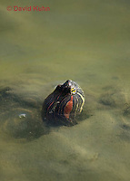 0920-0902  Red-Eared Slider, Hiding in Mud Underwater in Marsh, Trachemy scripta (syn: Chrysemys scripta) © David Kuhn/Dwight Kuhn Photography