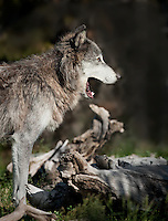 Gray Wolf in profile with mouth open, yawning (C)