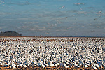 Snow geese (Chen caerulescens) in flight, Pocosin Lakes National Wildlife Refuge