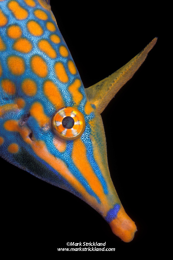 This brilliantly colored creature, only a few inches in length, is a Longnose Filefish, Oxymonacanthus longirostris. Its long snout and relatively small mouth enable it to reach down among Acropora corals where it feeds on the polyps. Similan Islands Marine National Park, Thailand, Andaman Sea