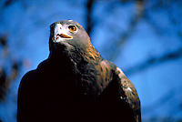 Closeup shot of a captive golden eagle owned by a falconer.