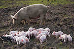 Piglets everywhere, and mamas and babies don't have enough to eat.