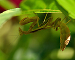 Mantis under leaf, California Mantis female, Stagmomantis californica, Praying Mantis, Southern California