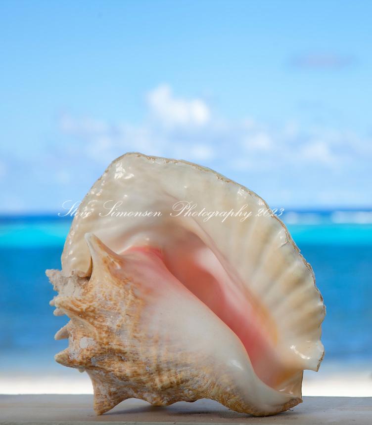 Queen Conch shell<br /> Virgin Islands