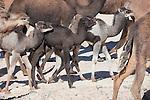 Herd of dromedaries (camels) in the Sahara desert, Morocco.