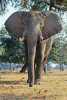 African Elephant (Loxodonta africana) bull feeding on acacia tree seed pods (orange pods it is picking up with trunk).  Africa.