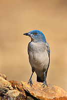 551130014 a wild  mexican jay alphelocoma wollweberi perches on a rock in madera canyon green valley arizona united states
