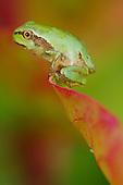 Italian Tree Frog (Hyla intermedia) on tip of a leaf, Italy.