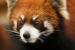 Lesser or Red Panda, Airurus Fulgens, close up portrait, Chengdu Panda Breeding and Research Center, Sichuan (Szechwan) Province Central China, mainly nocturnal and solitary, has partly retractable claws and climbs well, reserve, captive, captivity, asia, asian, chinese, fur, furry, pandas, patterns, omnivores,.China....