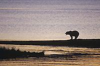 Kodiak Brown Bear (Ursus arctos middendorffi), adult at sunset, Katmai National Park, Alaska, USA