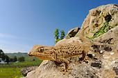 A huge Moorish Gecko (Tarentola mauritanica) in habitat.