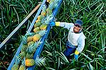 Pineapple Farmer Harvesting Pineapples Onto A Conveyor Belt In Costa Rica.