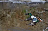 Northern Shoveler (Anas clypeata) drake jumping/taking flight off wetland pond.  Oregon-California border.  Late winter/early spring.