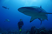 A diver watches a shark  in the sea near Roatan Island, Honduras, April 11, 2007..Every year hundreds of certify divers arrive to the island and choose the.Experience of diving with this Caribbean Reef Shark in the Roatan waters..The Caribbean reef shark or Carcharhinus perezii, is found in the.tropical western Atlantic and the Caribbean, from Florida and the.Bahamas to Brazil. Its length is up to 3 metres (10 ft). It is one of.the largest apex predators in these areas, they are ussually seen.cruising the edge of reefs, over deep water and feed on reef fish, rays.and large crabs....
