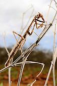 Praying Mantis grooming its eyes (Teddia dioscoris), Socotra, Yemen