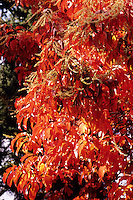 FALL FOLIAGE<br /> Sourwood (Oxydendron Arboretus)<br /> Brooklyn Botanical Garden. In the autumn, trees stop photosynthesis. As the green chlorophyll disappears from the leaves, yellow, orange and red become visible.
