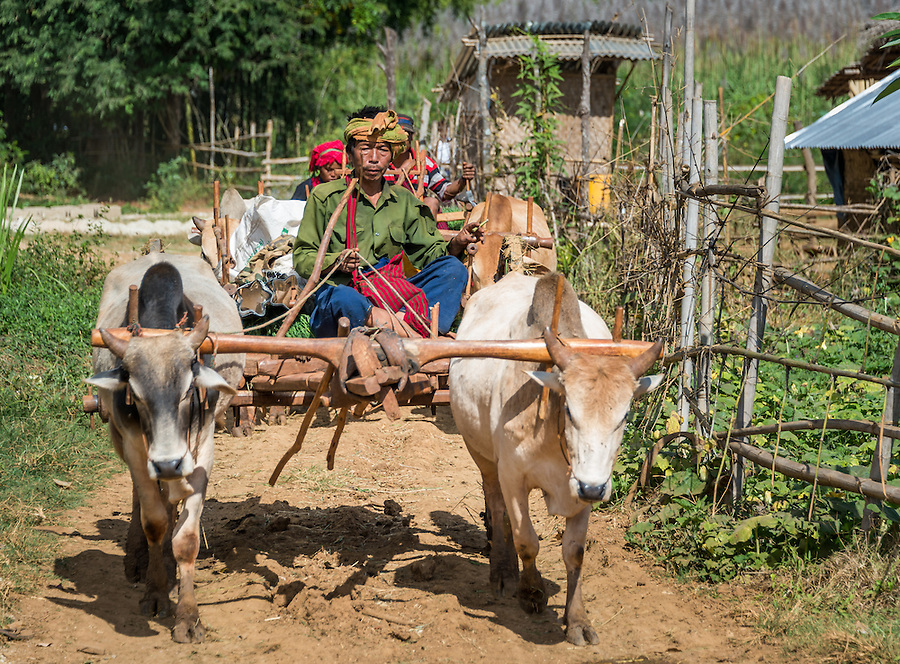 INLE LAKE, MYANMAR - CIRCA DECEMBER 2013: Burmese man riding an ox cart the Taung Tho Market in Inle Lake, Myanmar
