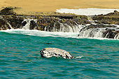 Stock image of a gray whale head peering over the waves