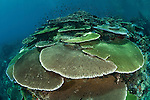 Incredibly healthy coral reef with tiers of plate corals and full of damselfish and fairy basslets.