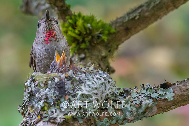 The Hummingbird Nest by Pascale Petit | Poetry Magazine