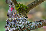 Rufous hummingbird mom feeds two chicks in her nest, Seattle, Washington, USA