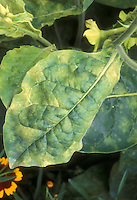 Tobacco mosaic virus on Nicotiana