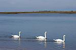 Three swans swimming,Vancouver, British Columbia,Canada.