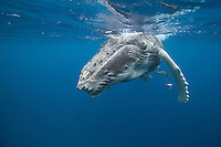 Young humpback whale on the surface. (Photo by Underwater Photographer Matt Considine)