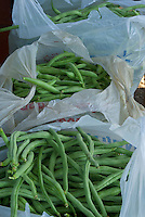 Green beans collected for local food pantry from Yarmouth Community Garden, Maine