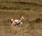 Young pronghorn antelope stopping for a drink